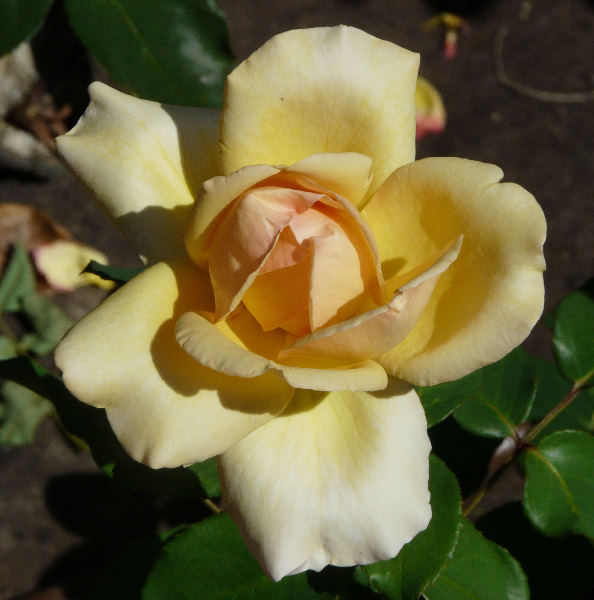 Rosa 'Poetry in Motion'