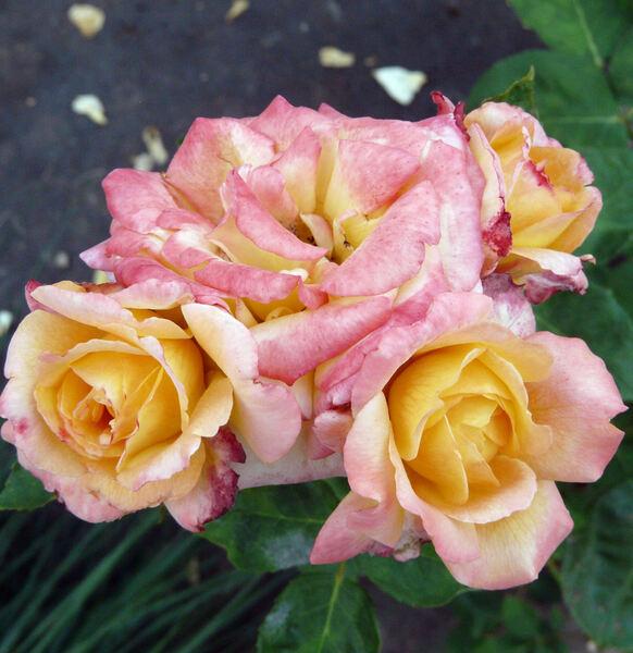 Rosa 'Philippe Noiret ®'