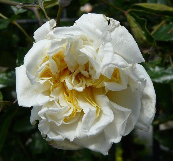 Rosa 'Albéric Barbier'