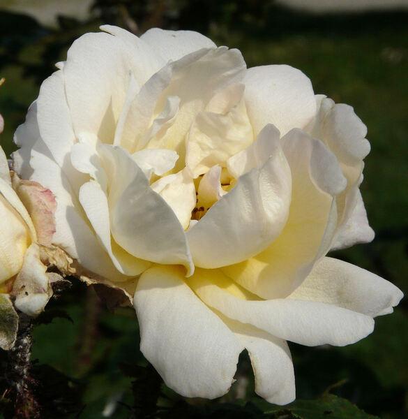Rosa 'Golden Moss'