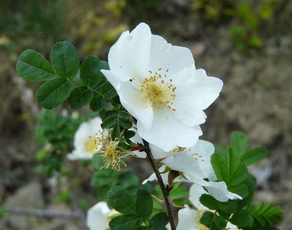 Rosa sericea L. f. pteracantha Franch.