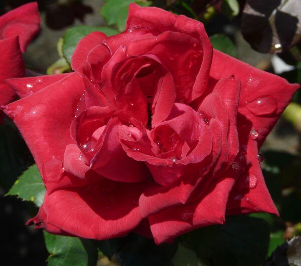 Rosa 'Petula Clark'