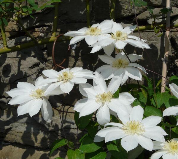 Clematis 'Wada's Primrose'