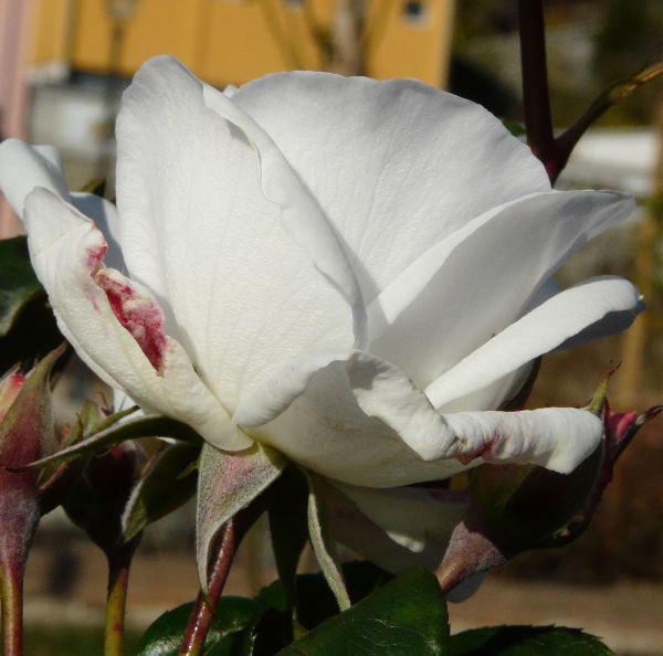 Rosa 'Maria Mathilda ®'