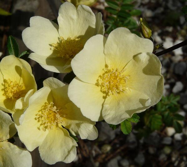 Rosa 'Primula'