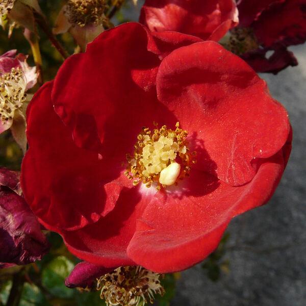 Rosa 'Alcantara ®'