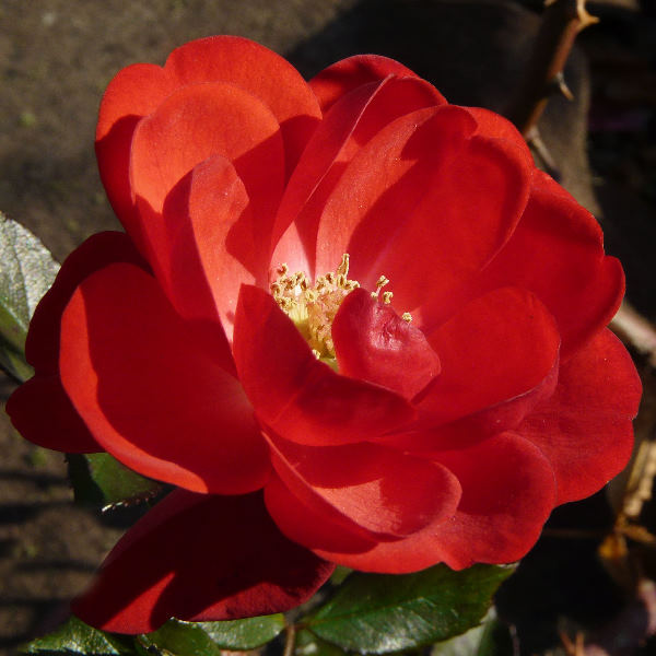 Rosa 'Cordula ®'