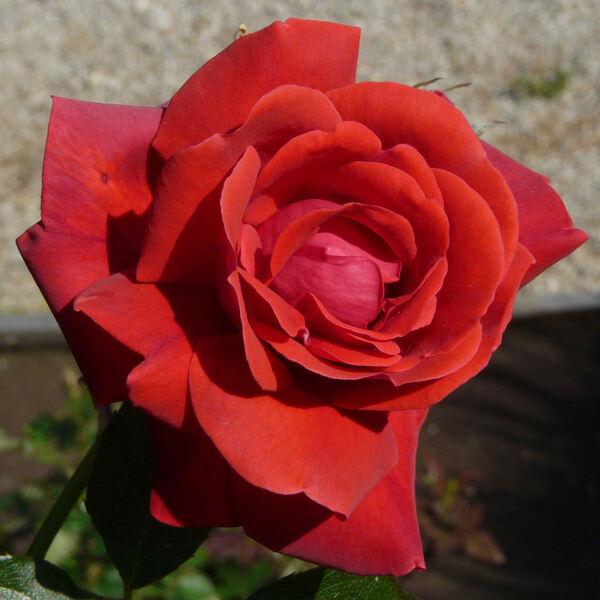 Rosa 'Danse du Feu'