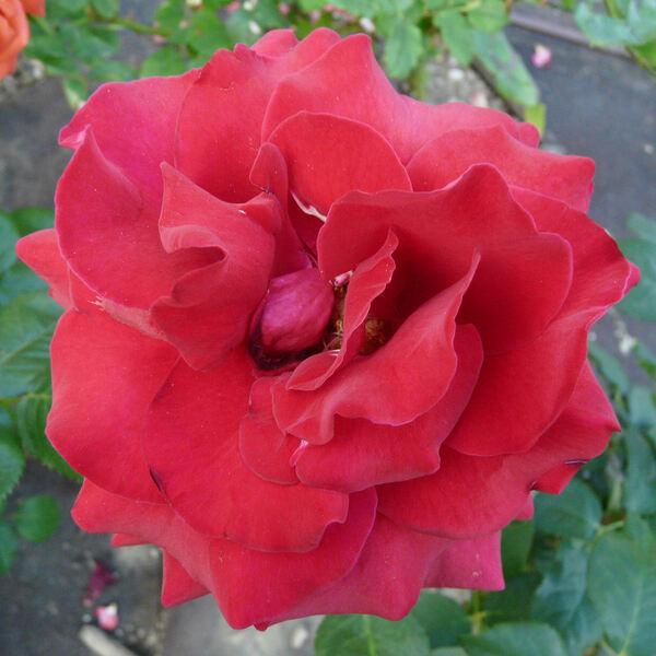 Rosa 'Duftzauber 84'