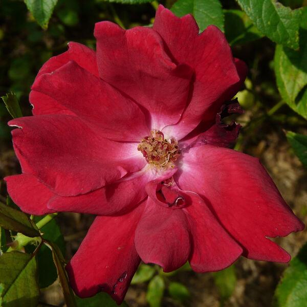 Rosa 'Frensham'