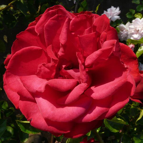Rosa 'J.C. Thornton'