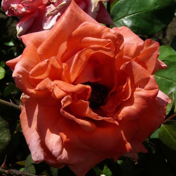 Rosa 'Offrandé'