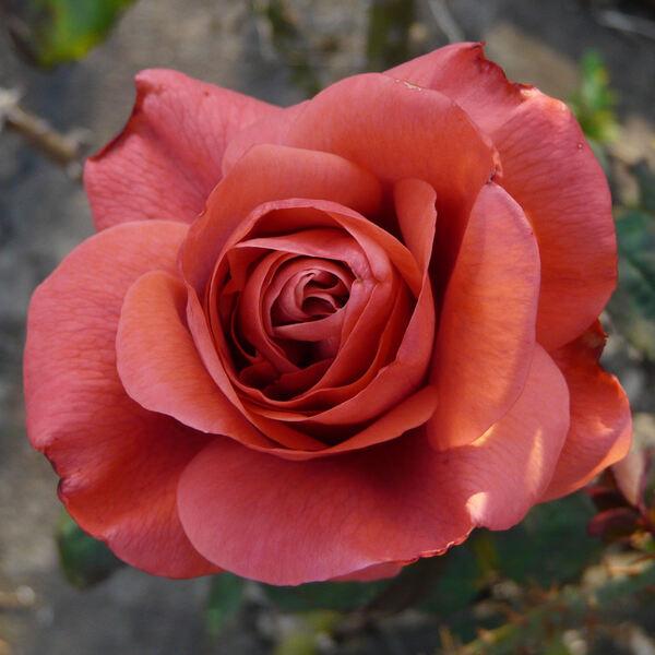 Rosa 'Pasteur'