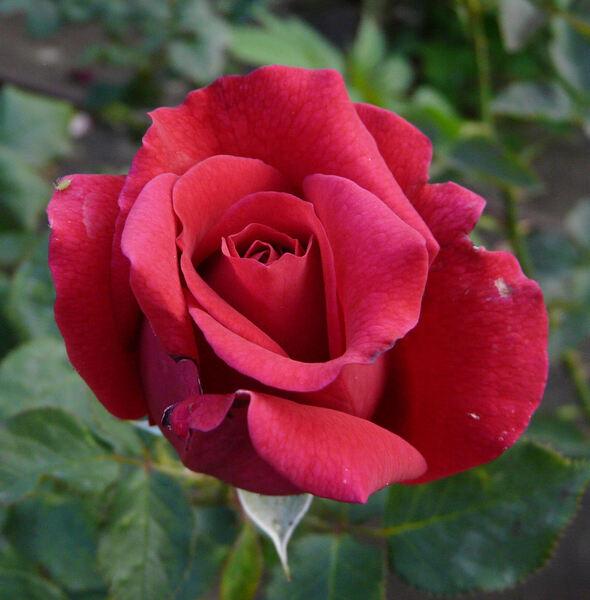 Rosa 'Pioneer'