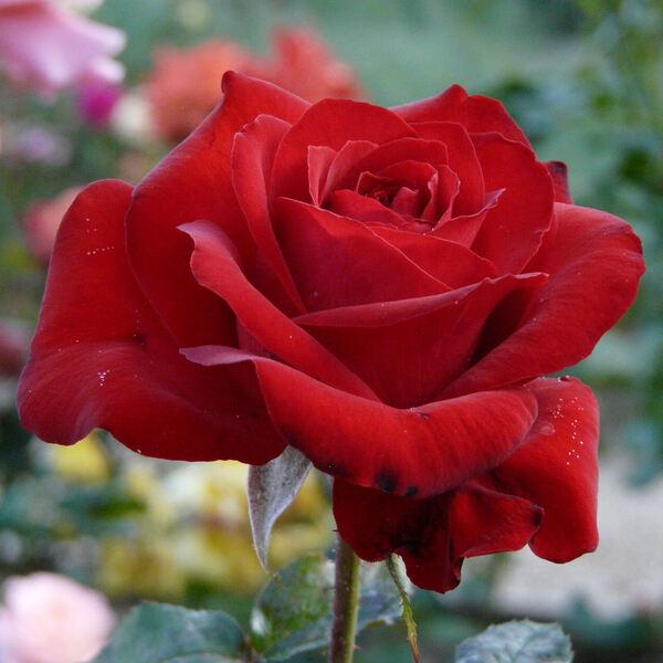 Rosa 'Réjouissance'