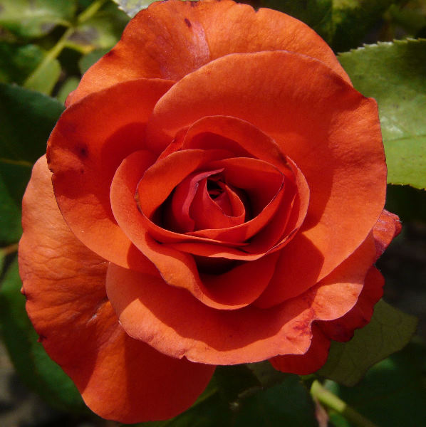 Rosa 'Rochefort'