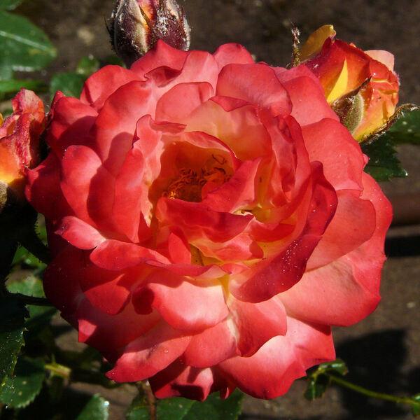 Rosa 'Rumba ®'