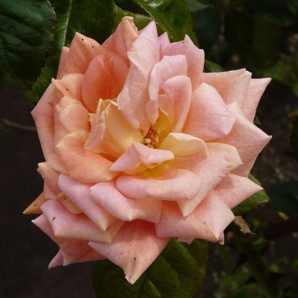 Rosa 'Scheherazade ®'