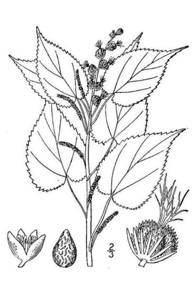 Acalypha ostryifolia Riddell ex J.M.Coult.