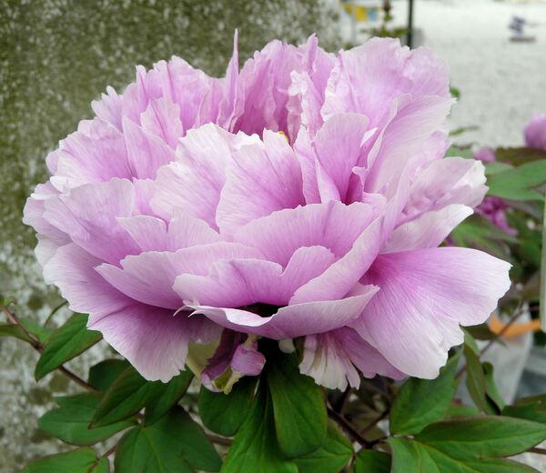 Paeonia 'Shimane Chojoraku'