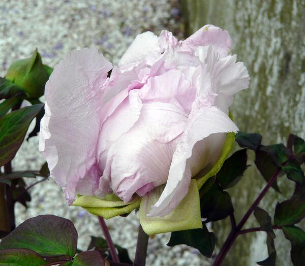 Paeonia 'Companion of Serenity'