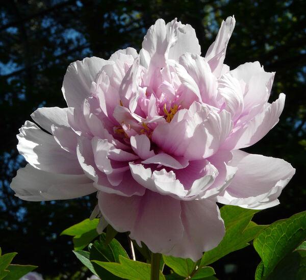 Paeonia 'Duchesse de Morny'