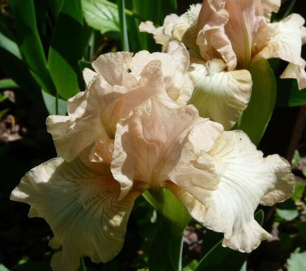 Iris 'First Romance'