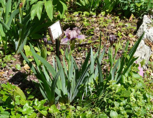 Iris 'Smoky Pieces'