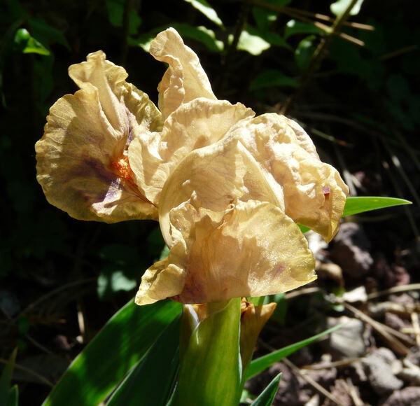 Iris 'Melograno'