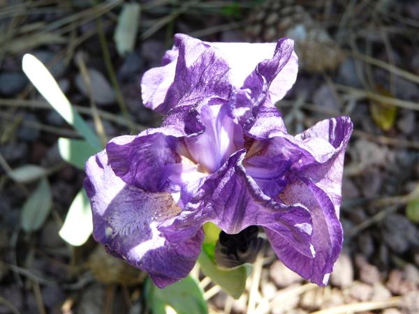 Iris 'Midnight Mist'