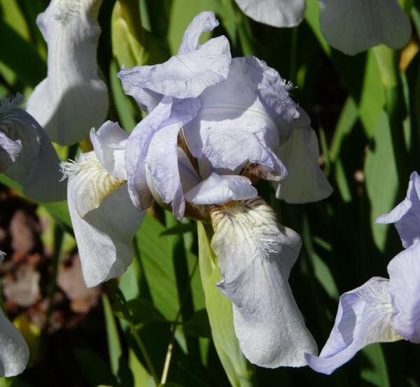 Iris benacensis A.Kern. ex Stapf