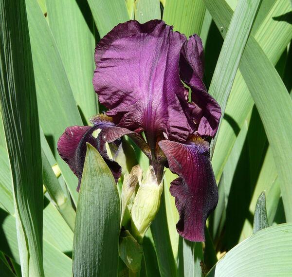Iris 'Palace'