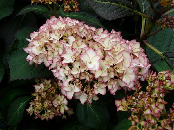 Hydrangea macrophylla (Thunb.) Ser. 'Ripple'