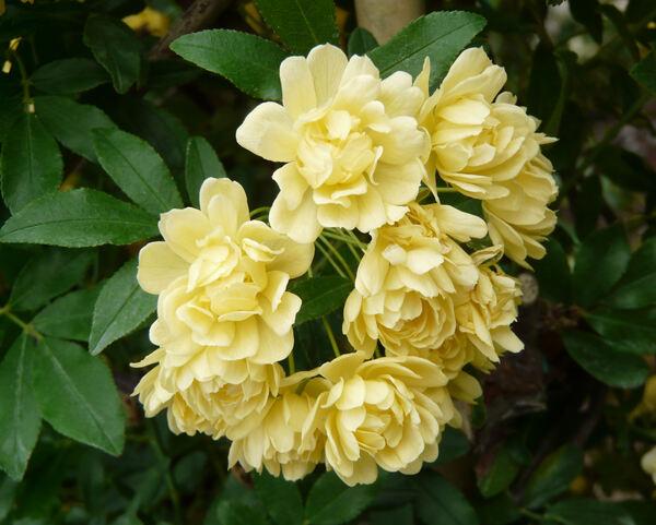 Rosa banksiae W.T.Aiton 'Lutea'