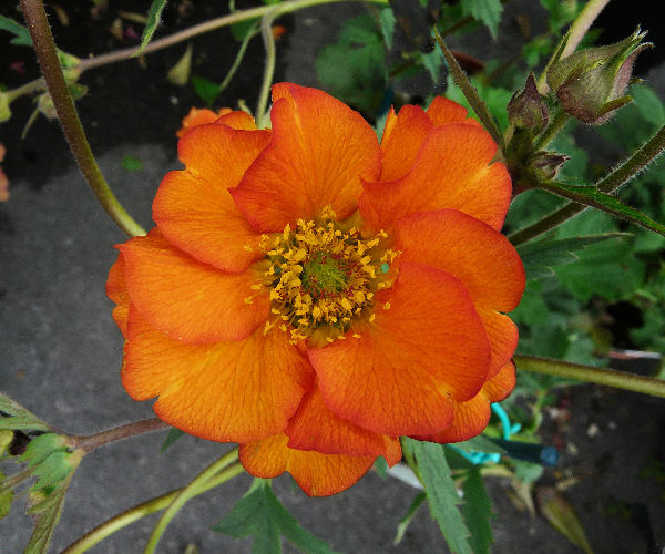 Geum coccineum Sibth. & Sm. 'Dolly North'