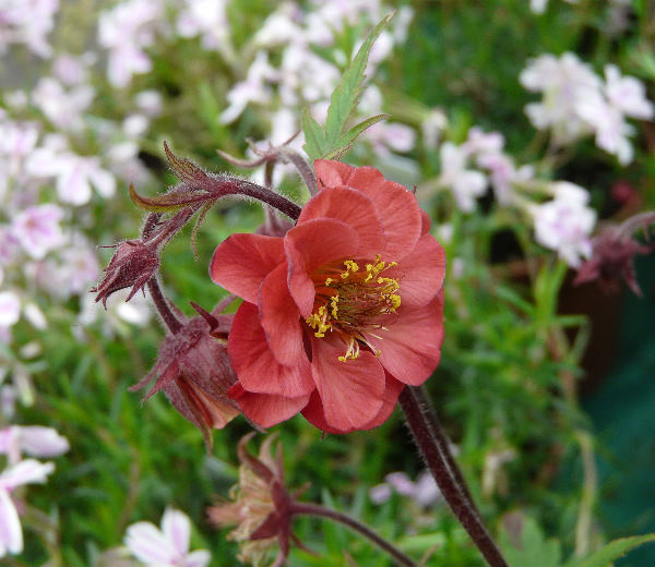 Geum 'Flames of Passion ®'