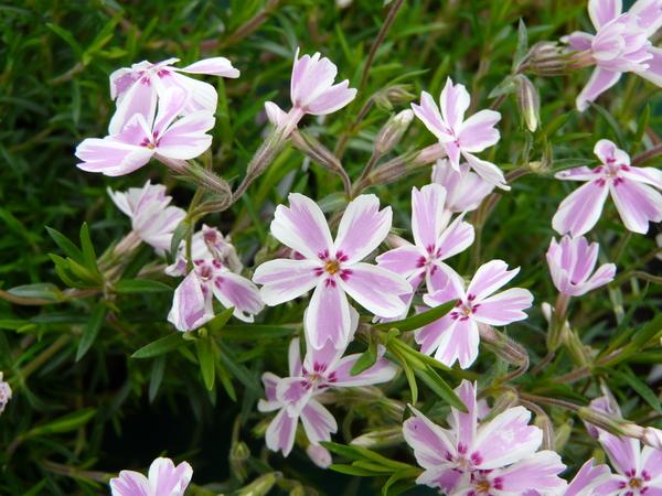Phlox subulata L. 'Dado Niko'