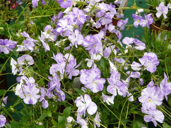 Viola cornuta L. 'Columbine'