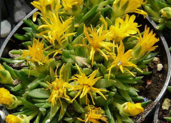 Delosperma congestum L.Bolus 'Gold Nugget'