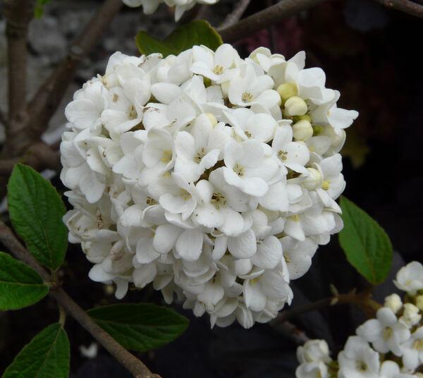 Viburnum hybridum Hort. 'Eskimo'