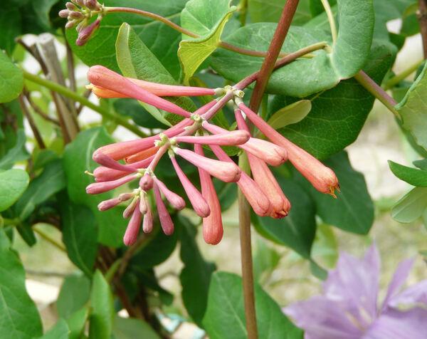 Lonicera x brownii (Regel) Carrière 'Dropmore Scarlet'