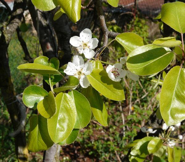 Pyrus communis L. subsp. communis
