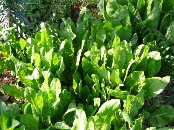 Cichorium intybus L var foliosum Hegi