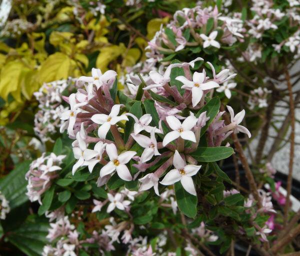 Daphne x burkwoodii Turrill 'Somerset'