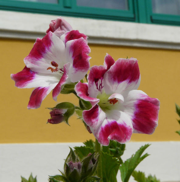 Pelargonium 'Beromunster'