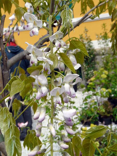 Wisteria floribunda (Willd.) DC. 'Pink Ice'