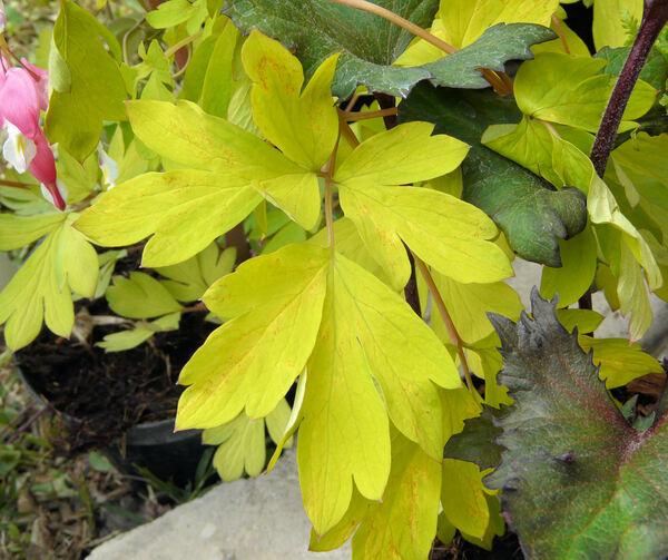 Lamprocapnos spectabilis (L.) Fukuhara 'Gold Heart'
