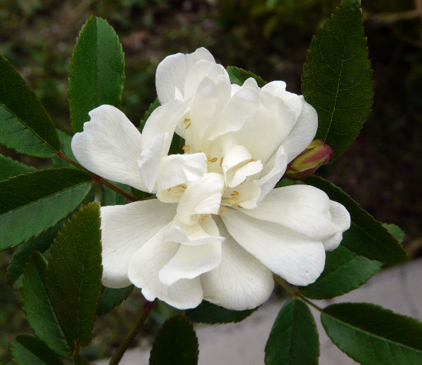 Rosa banksiae W.T.Aiton