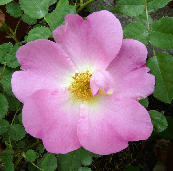 Rosa 'Marguerite Hilling'