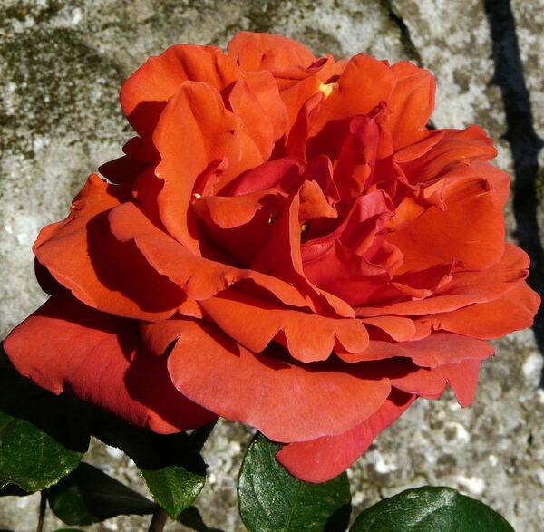 Rosa 'Soraya, Cl. ®'